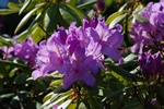 Rhododendron catawbiense photo