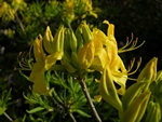 Rhododendron luteum photo