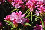 Rhododendron metternichii photo