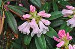 Rhododendron pogonostylum photo