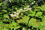 Rodgersia podophylla photo