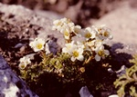 Saxifraga burseriana photo