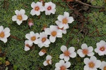 Saxifraga unguiculata photo