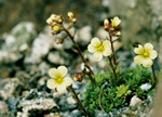 Saxifraga x borisii (Vincent Van Gogh) photo
