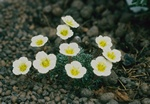 Saxifraga x boydii (Faldonside) photo