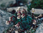 Saxifraga x fritschiana photo