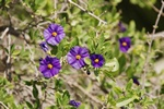 Solanum rantonnetii photo