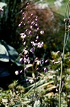 Thalictrum dipterocarpum photo