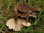 Tricholoma imbricatum photo