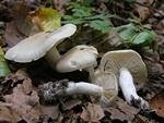 Tricholoma lascivum photo