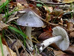 Tricholoma sciodes photo