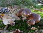 Tricholoma ustale photo