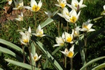 Tulipa turkestanica photo