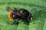 Volucella bombylans photo