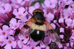 Volucella pellucens photo