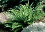 Woodsia polystichioides photo