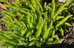 Woodsia polystichoides photo
