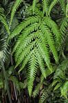 Woodwardia radicans photo