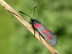 Zygaena viciae photo