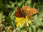 Boloria euphrosyne photo