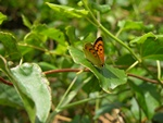 Lycaena salustius photo