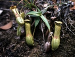Nepenthes gracilis photo