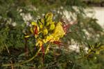 Caesalpinia gilliesii photo