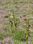Jonc (Juncus balticus) photo