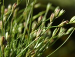 Jonc (Juncus bufonius) photo