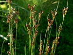 Jonc (Juncus compressus) photo