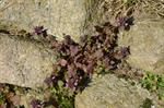 Lamier pourpre (Lamium purpureum) photo
