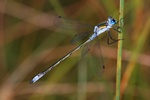 Leste fiancé (Lestes sponsa) photo