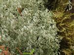 Cladonia ciliata photo
