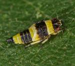 Eupterycyba jucunda photo