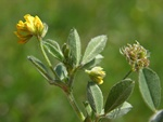 Lucerne, petite (Medicago minima) photo