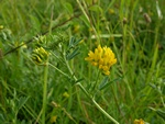 Luzerne jaune (Medicago falcata) photo