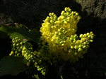 Mahonia repens photo