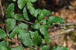 Nothofagus antarctica photo