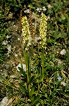 Orchis paille (Pseudorchis straminea) photo