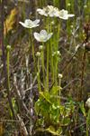 Parnassie des marais (Parnassia palustris) photo