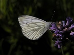 Piéride du Navet (Pieris napi) photo