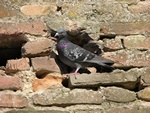 Pigeon biset (Columba livia) photo