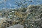 Pipit maritime (Anthus petrosus) photo