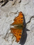 Polygonia egea photo