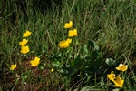 Populage des marais (Caltha palustris) photo