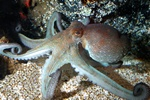 Poulpe commun (Octopus vulgaris) photo