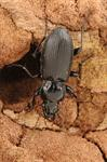 Pterostichus melanarius photo