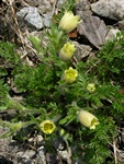 Pulsatilla albana photo