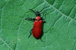 Pyrochroa coccinea photo