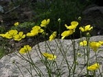 Ranunculus gramineus photo